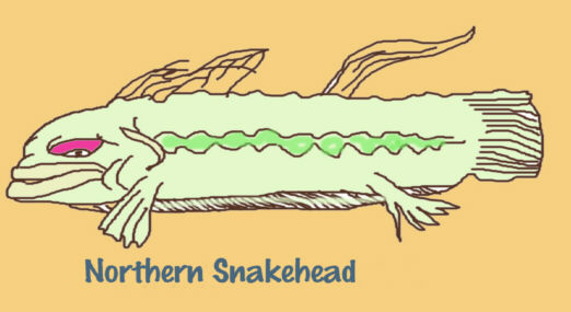 northernsnakehead.jpg